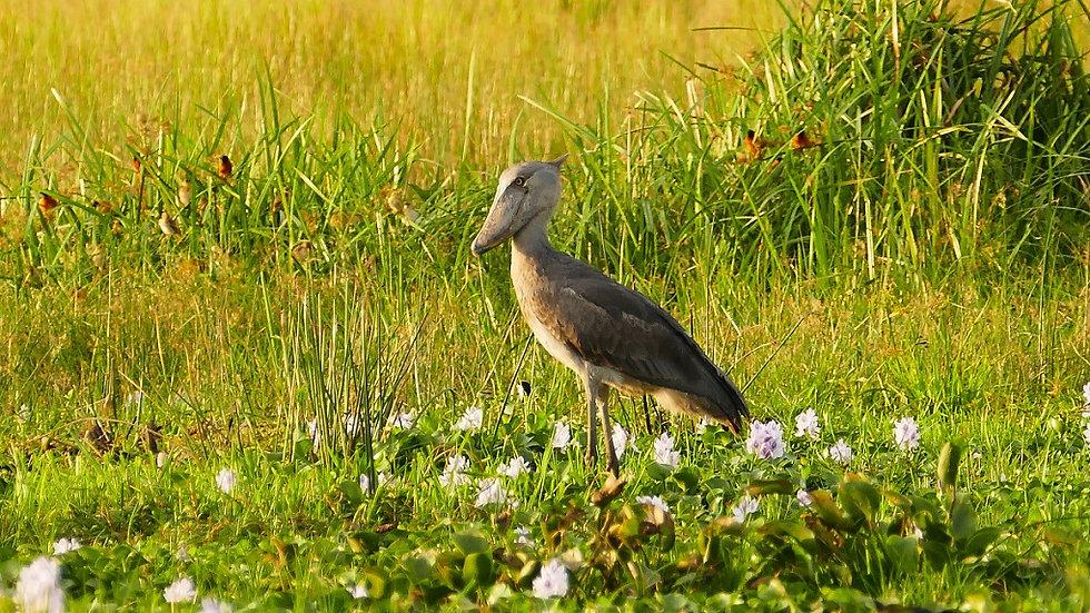 UGANDA, Birdwatching en Uganda