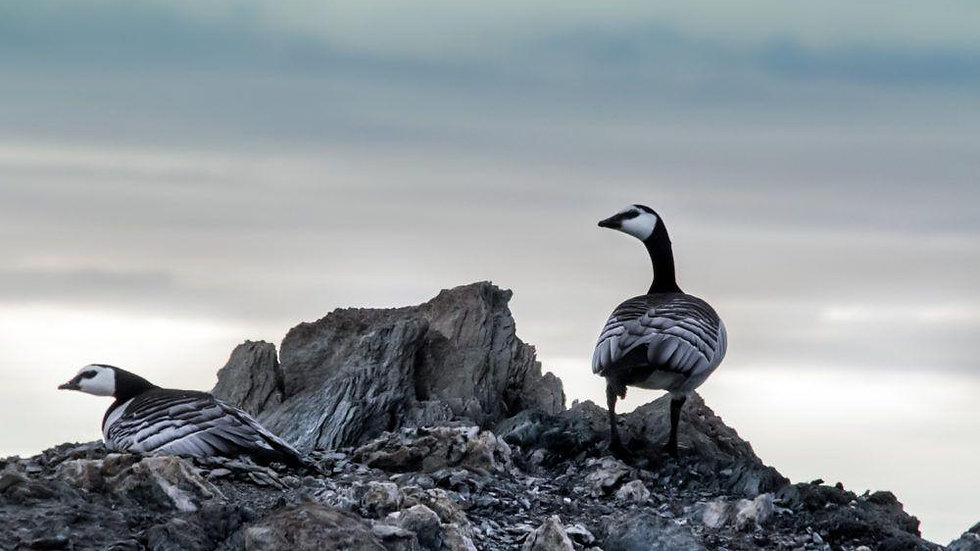 NORUEGA, SVALBARD, Birdwatching ártico en Svalbard