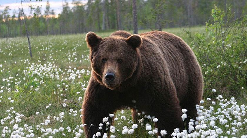 FINLANDIA, Observación de osos pardos