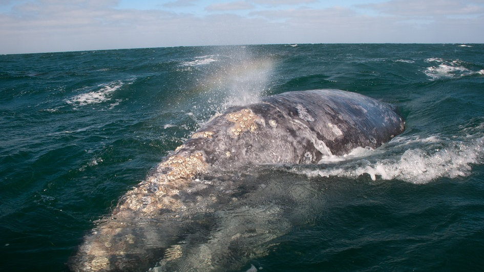 MÉXICO, BAJA CALIFORNIA SUR, la cuna de la ballena gris