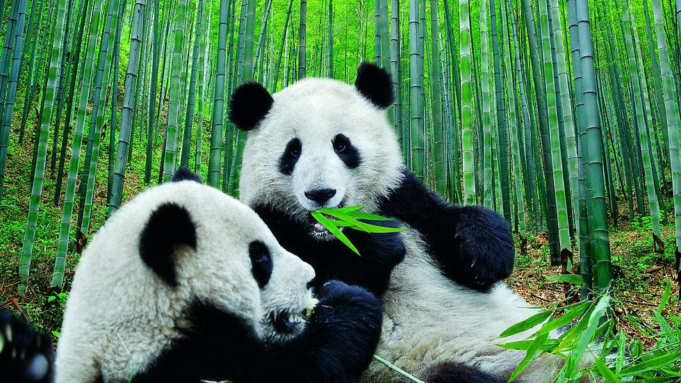 CHINA, El hogar del Oso Panda