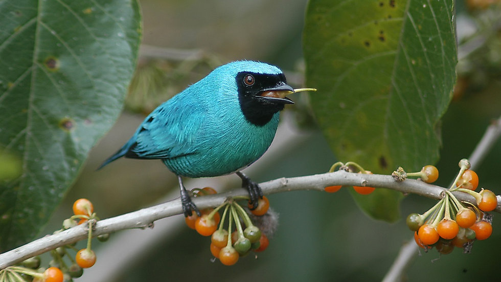 ECUADOR, Birdwatching en Ecuador