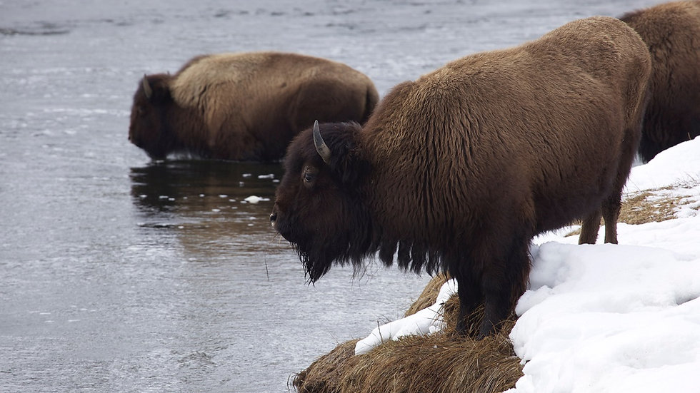 ESTADOS UNIDOS,  Lobos y bisontes en  Yellowstone