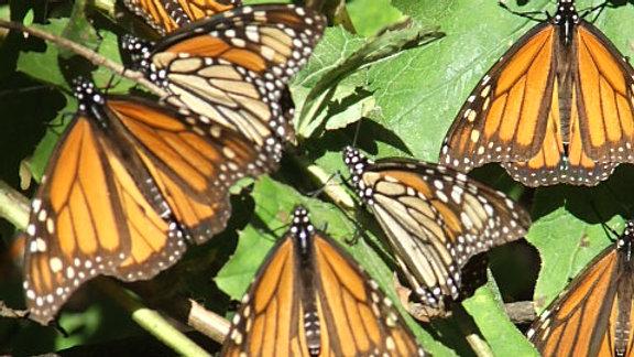 MÉXICO, El Santuario de la mariposa monarca