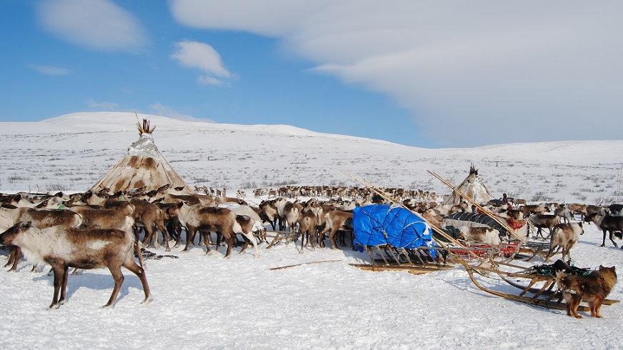RUSIA, La migración de los Nenets