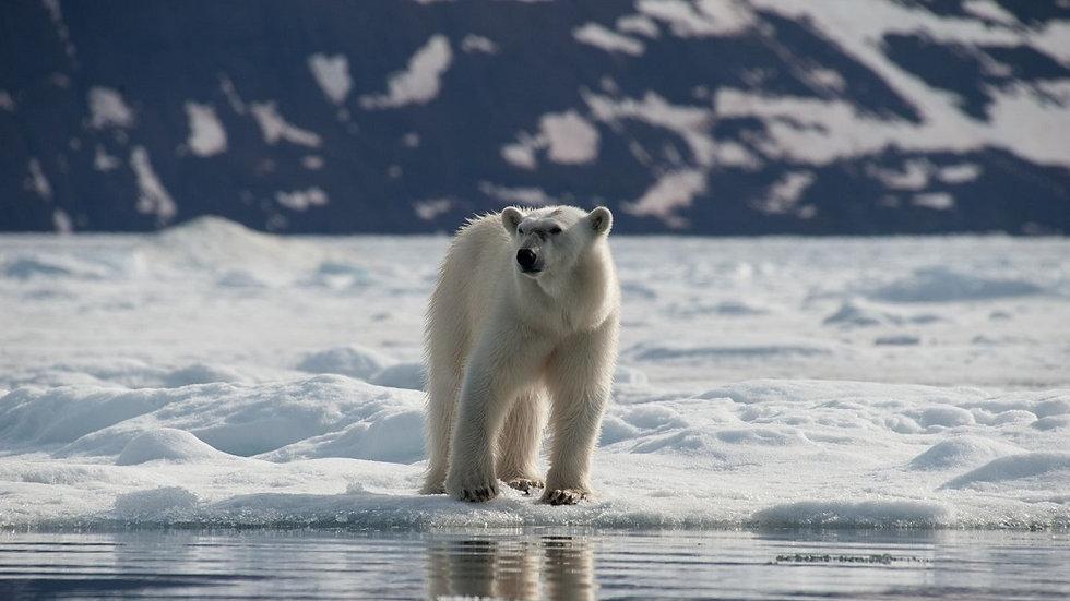 NORUEGA, SVALBARD, Norte de Svalbard, Especial Oso Polar
