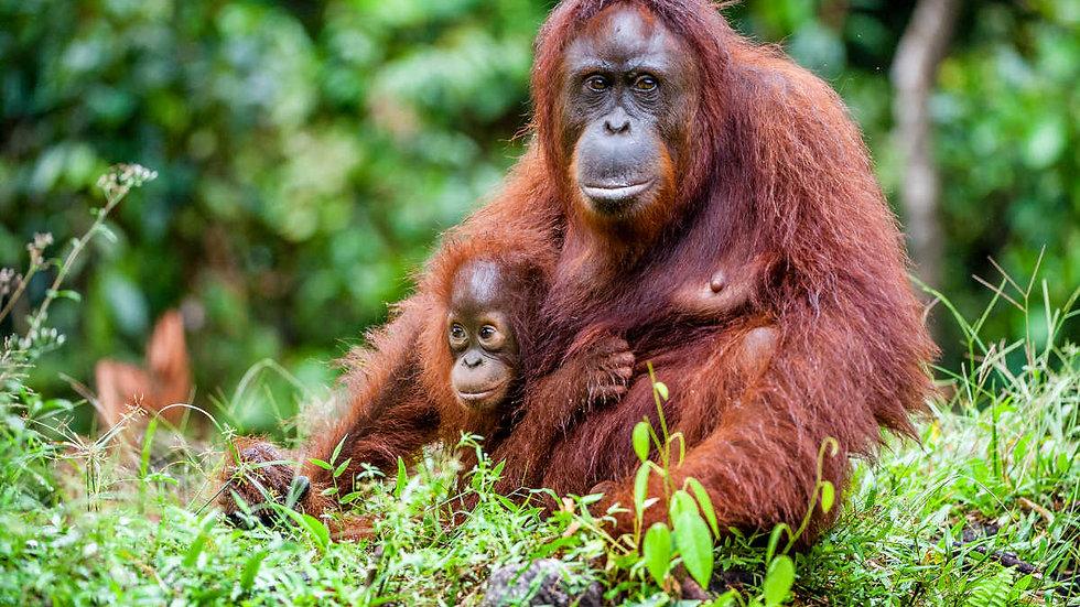 INDONESIA,  Borneo, Orangutan  Tanjung Puting Experience