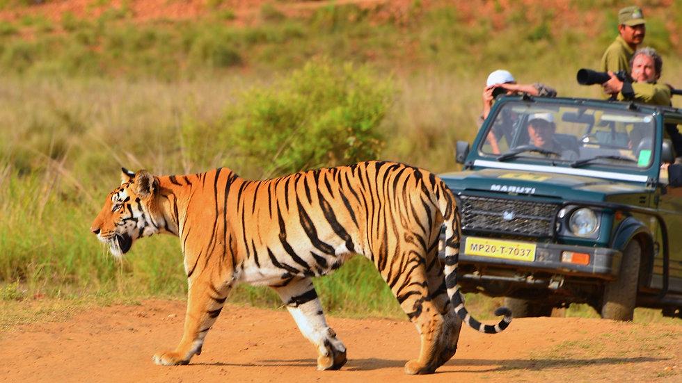 INDIA,  Safari de Tigres