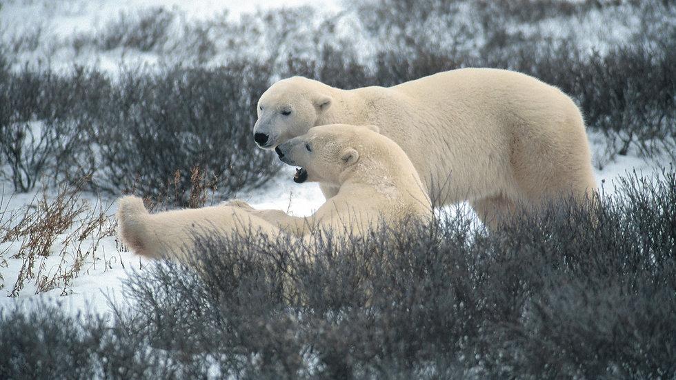 CANADÁ, En busca del Gran Oso Polar
