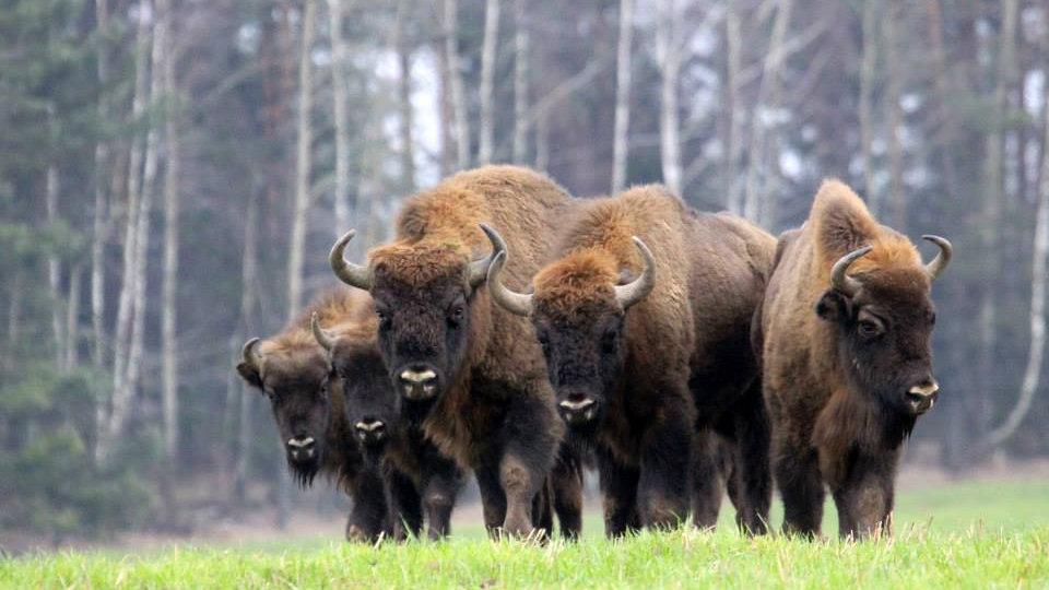 POLONIA, Walking Bison,  Caminando con bisontes en Parque Nacional  Białowieza