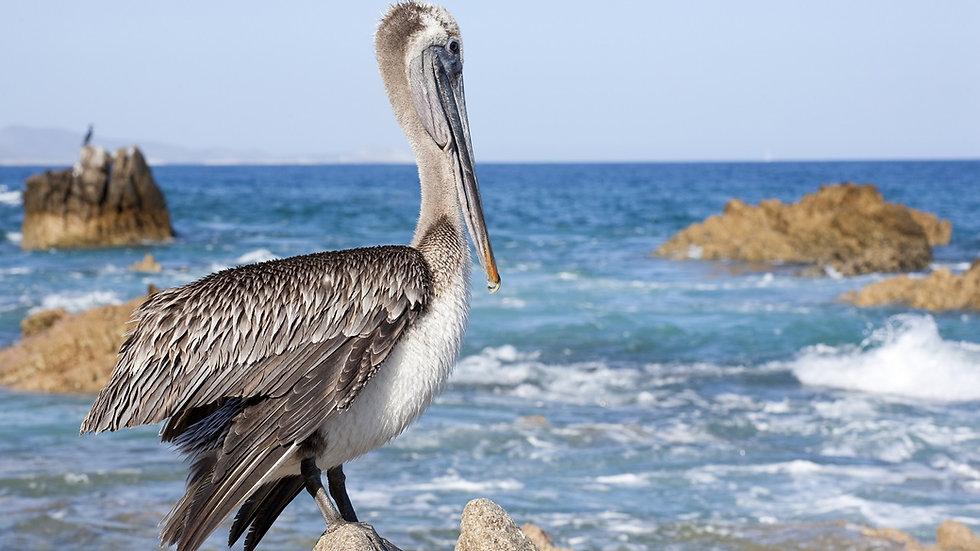 MÉXICO, BAJA CALIFORNIA SUR, Aves, ballenas y vida salvaje