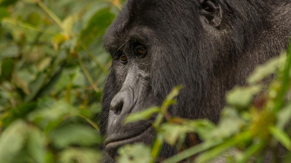 UGANDA, Gorila Trek