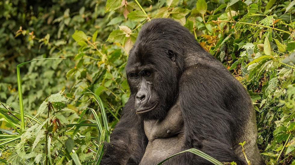 UGANDA, Safari de gorilas, Salida en grupo