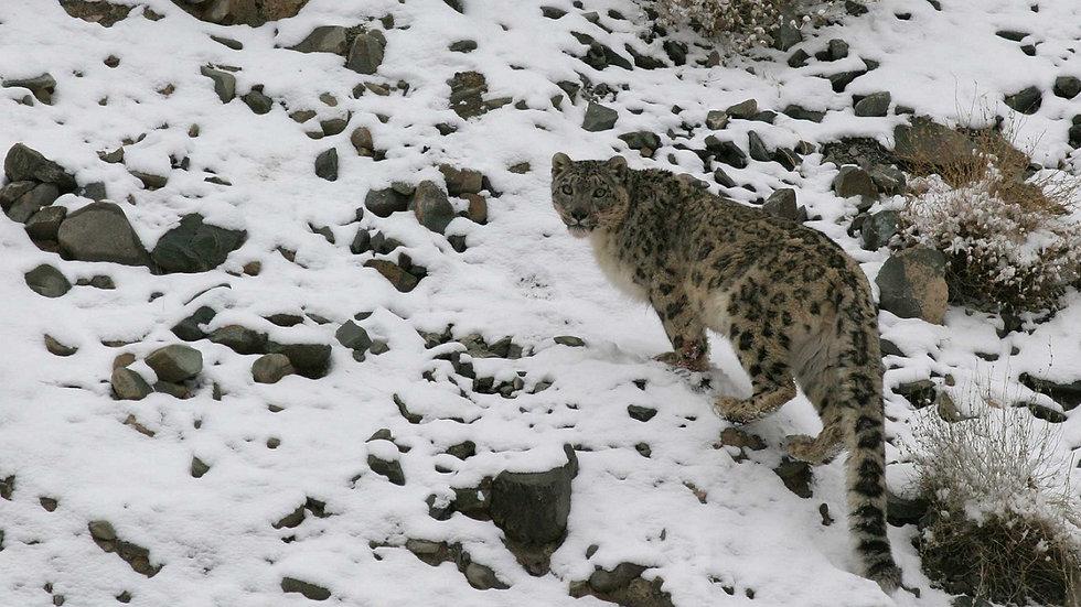 INDIA, Leopardo de las Nieves Trek
