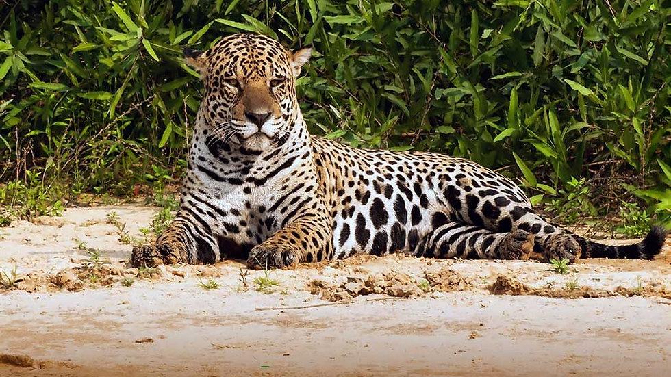 BRASIL,  Experiencia Pantanal Norte, Buscando el jaguar