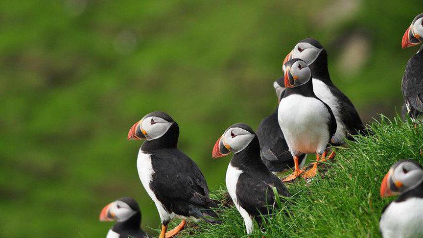 ISLAS FEROE, Birdwatching en las Islas Feroe