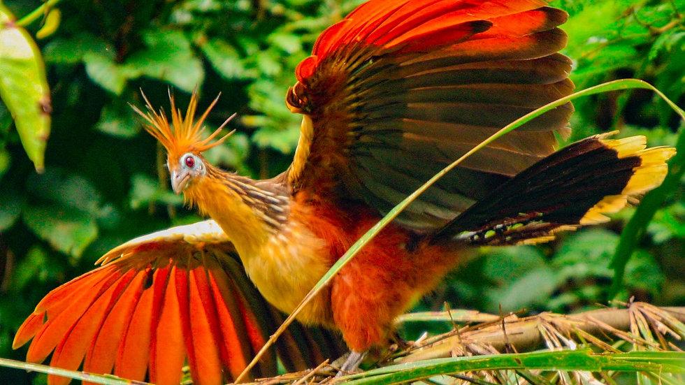 PERÚ, Birdwatching en el Amazonas