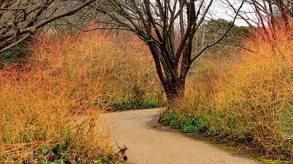 Villkornell lyser opp om vinteren med sine fargerike greiner