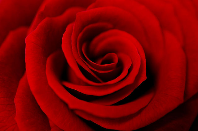 A close up macro shot of a red rose.jpg