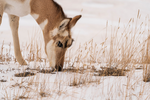 Leah Meade - Pronghorn in Yellowstone.jp