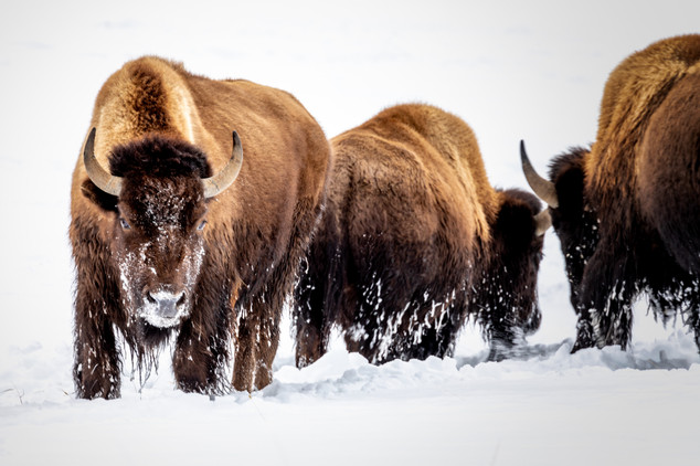 Ray Kent - Yellowstone bison 3.jpg