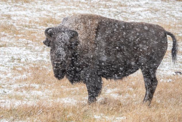 bison (3 of 1).jpg