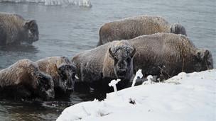 Che Simons - river edge bison better.JPG