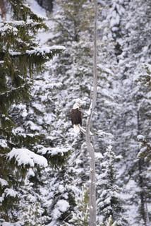 Che Simons - Tree Eagle.JPG