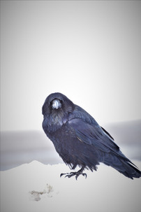 Che Simons - Che's Raven.JPG