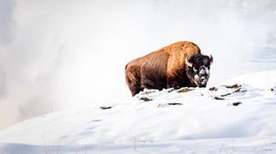 Ray Kent - Yellowsonte bison 2.jpg