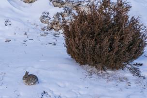 Leah Meade - Little rabbit in Mammoth Sp