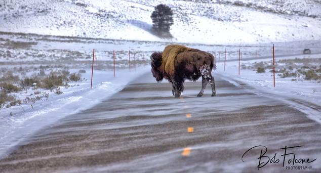 Bob Falcone - YellowstoneBison_RoadFBwm_