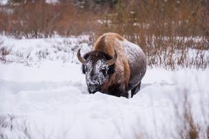 Leah Meade - Lone Bison.jpg