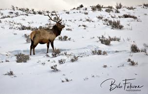 Bob Falcone - YellowstoneElk-snowFBwm_46