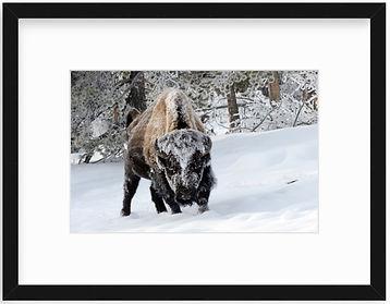 Bison Frame Black.jpg
