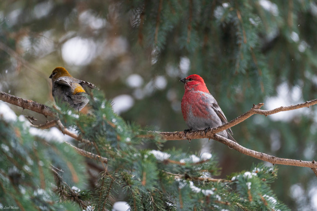 Leah Meade - Pair of Grosbeaks.jpg