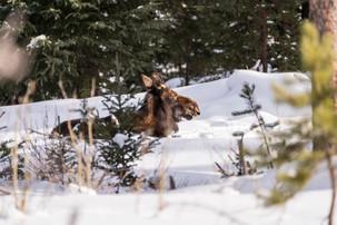 Leah Meade - Cow Moose resting.jpg