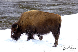 Bob Falcone - YellowstoneBisonFBwm_5969.