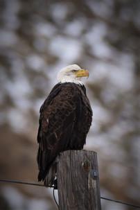 Che Simons - bald eagle che 2.jpg