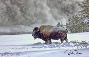 Bob Falcone - YellowstoneBison_OldFaithf