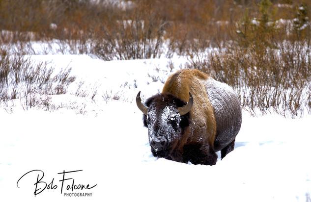 Bob Falcone - YellowstoneBison_SnowFBwm_