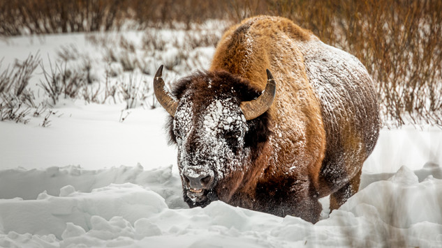 Ray Kent - Yellowstone Bison.jpg
