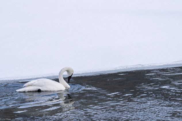Leah Meade - Swan in Yellowstone1.jpg