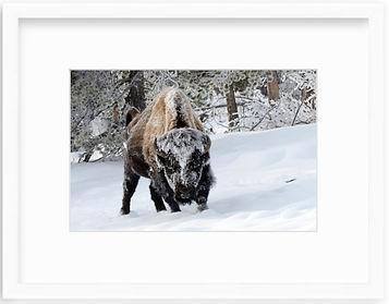Bison White Frame.jpg