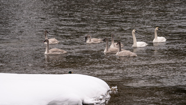 Leah Meade - Swan signets in Yellowstone