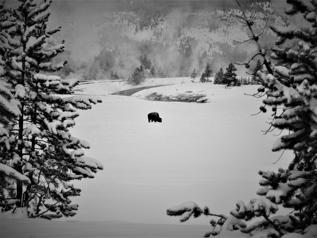 Che Simons - Lonely Bison B&W.JPG