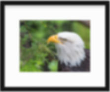 Eagle Black Frame.jpg