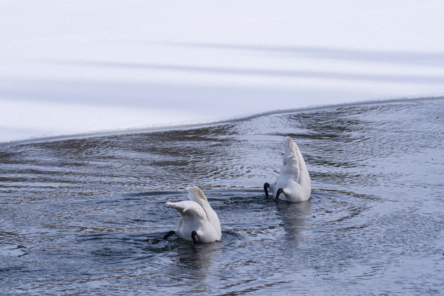 Leah Meade - Swans in Yellowstone1.jpg
