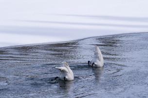 Leah Meade - Swans in Yellowstone1.jpg