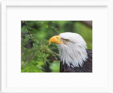 Eagle White Frame.jpg